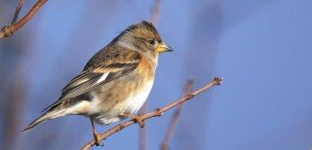Suivi Hivernal des Oiseaux Communs (SHOC)