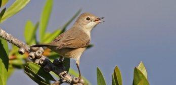 Suivi Temporel des Oiseaux Communs (STOC-EPS)