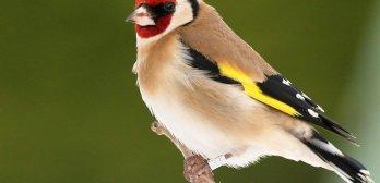 Suivi des oiseaux par marquage